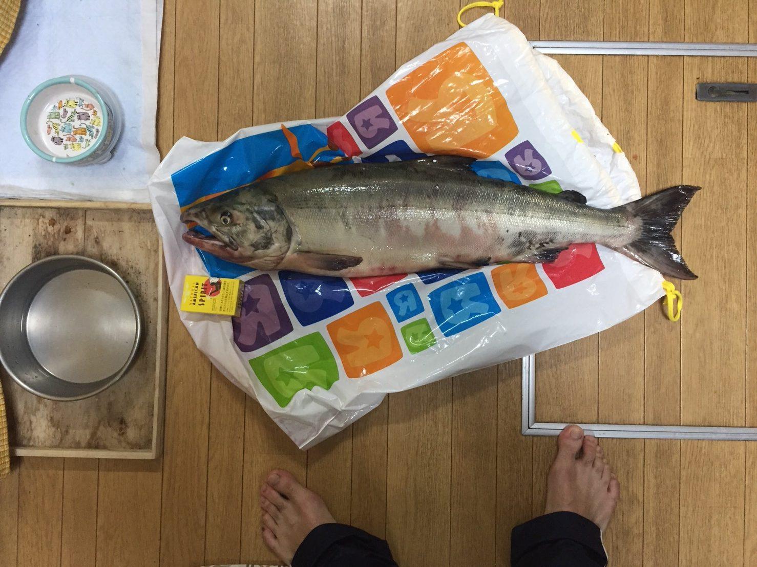 噴火湾 サケ釣り釣果情報!道南の森町でまた釣れちゃいました。