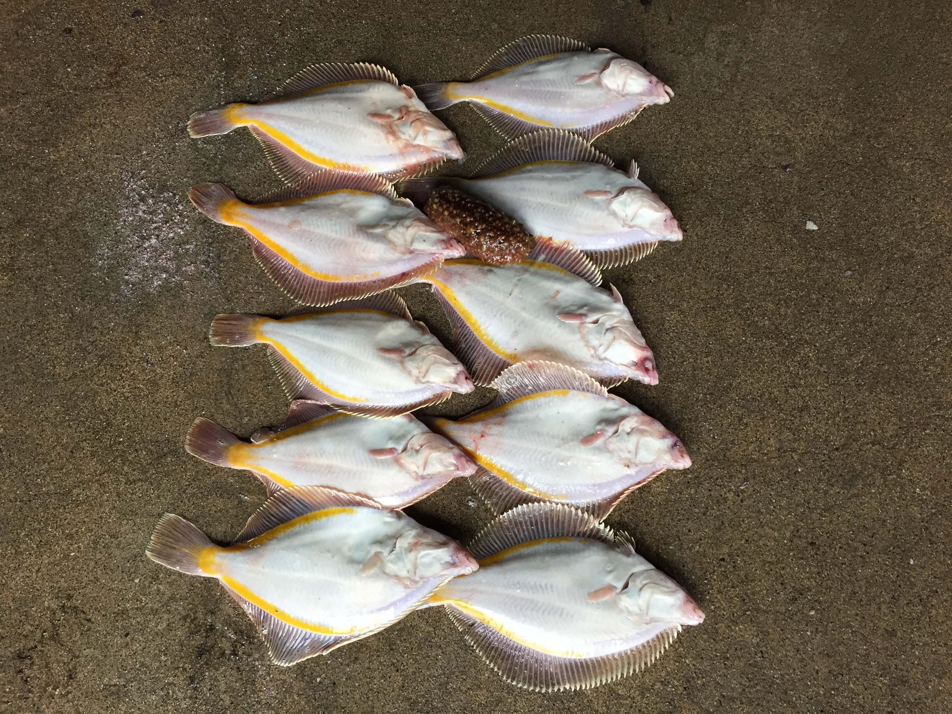 噴火湾 カレイ釣り11月釣果情報!八雲町の黒岩漁港!