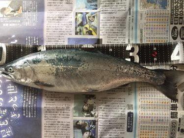 【道南】噴火湾サクラマス2020!釣果報告!